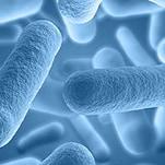malolactic bacteria wine fermenation mlf