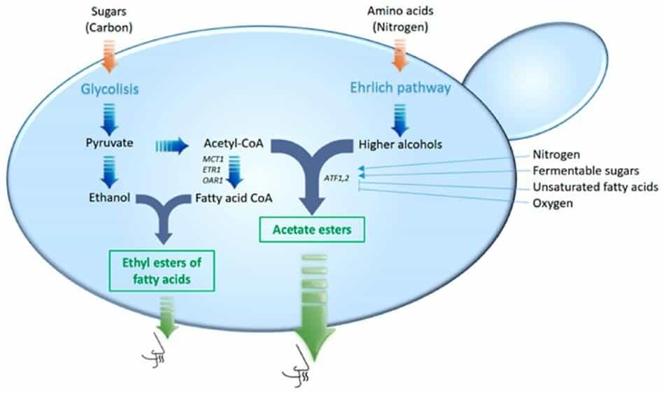 Fermentation Ester Synthesis Pathways