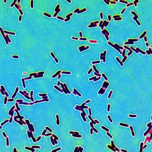 malolcatic fermentation mlf bacteria secondary winemaking New Zealand